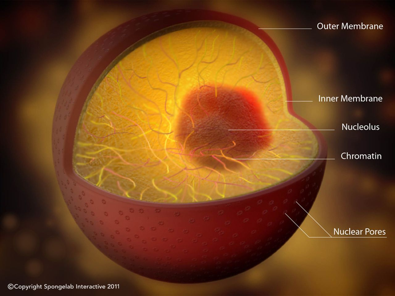 Structure of the Nucleus - Labeled   Cell organelles ...