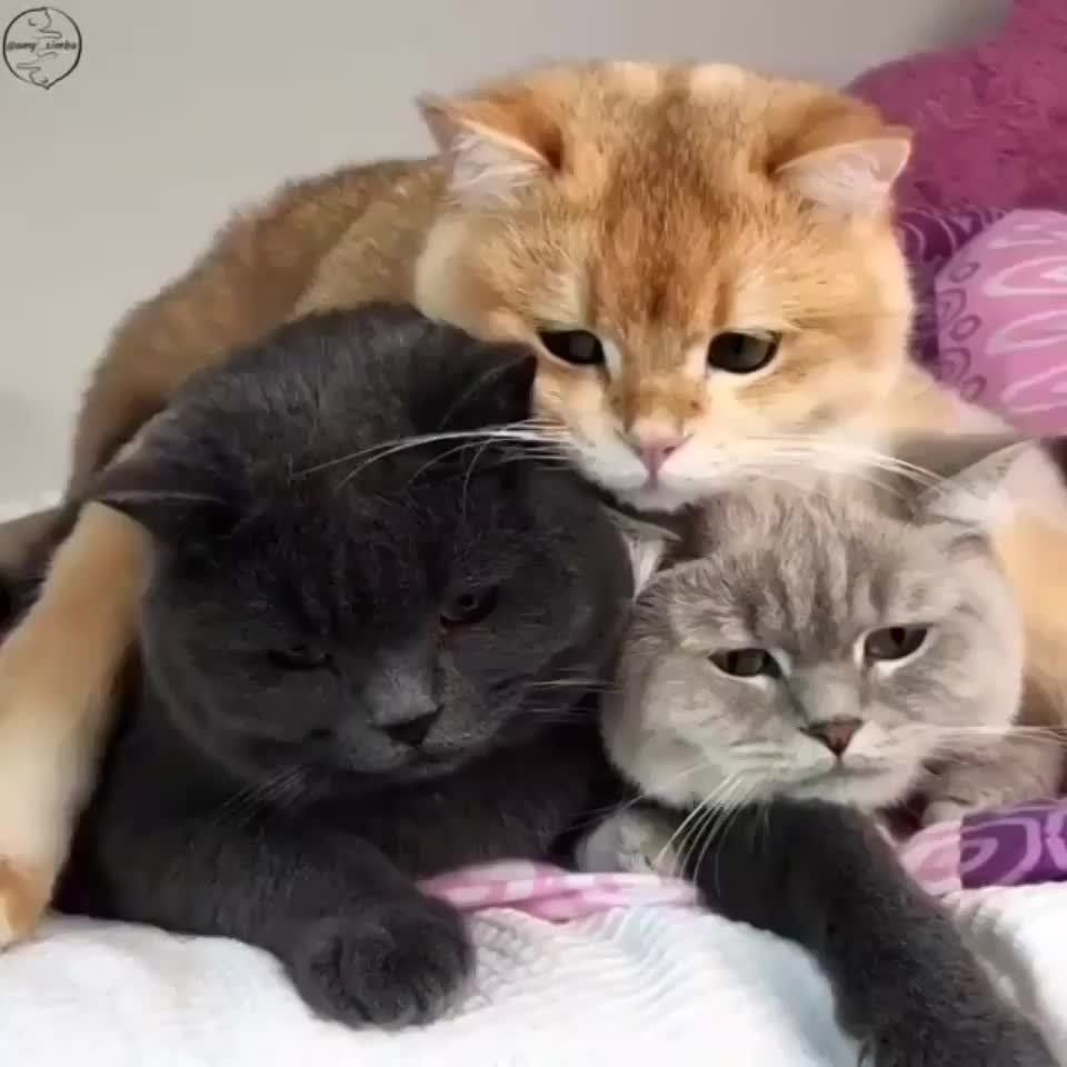 Triple The Cat Triple The Cuteness Cat Facts Asian Leopard