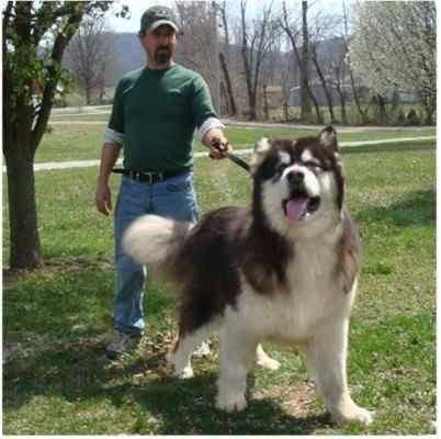 Giant Wolf Dog Breed Huge Dog Alaskan Malamute Puppies
