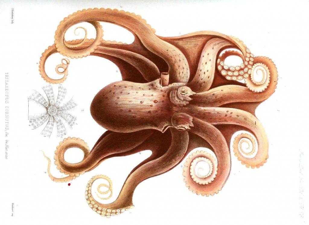 vintage octopus public domain