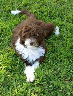 Aussie Doodle Grown Up With Images Therapy Animals Doggie