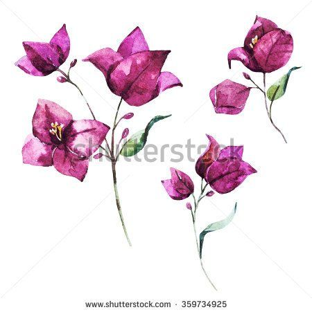 http://thumb7.shutterstock.com/display_pic_with_logo/2307533/359734925/stock-photo-watercolor-illustration-of-flower-bougainvillea-pink-…