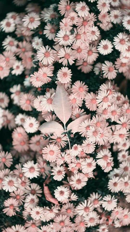 From rose wallpaper aesthetic to beautiful white roses wallpaper photography. pink aesthetic: daisies | Flower iphone wallpaper ...
