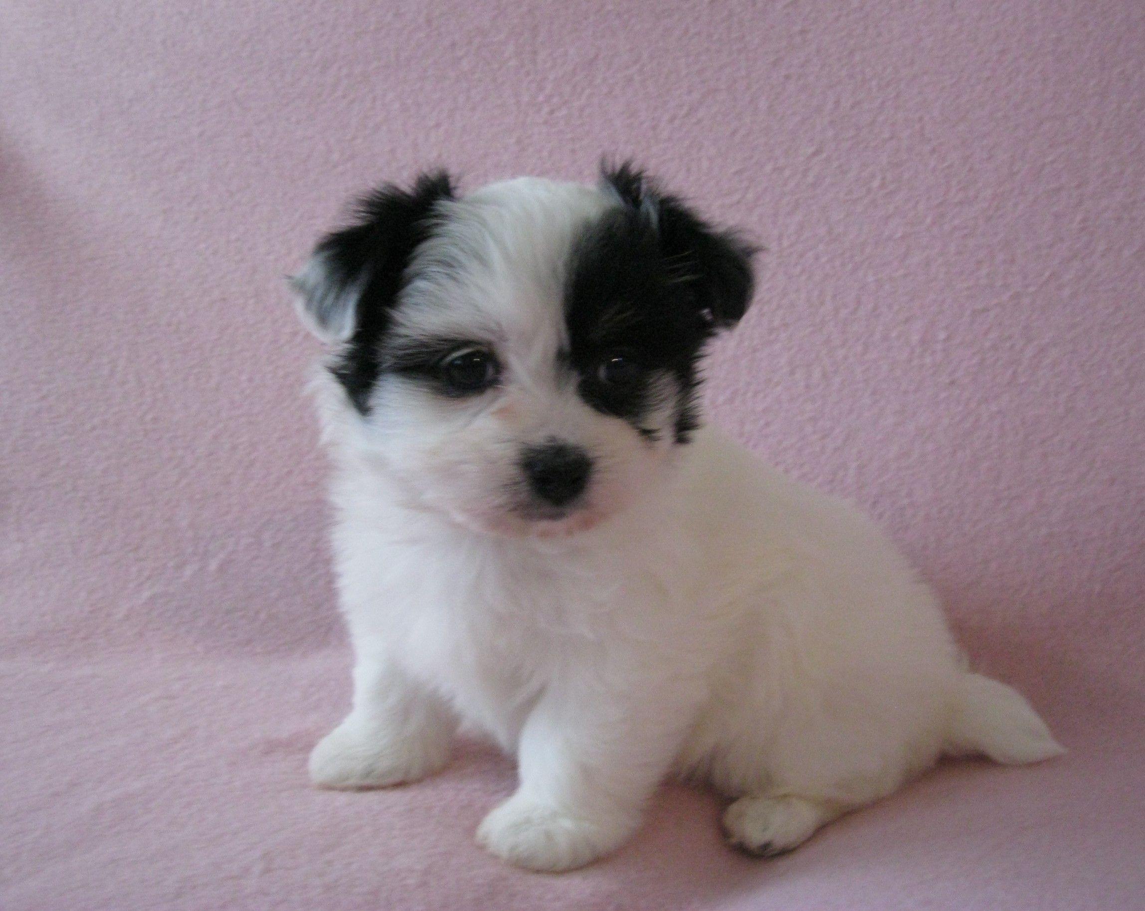 Havanese Puppies For Sale Http Www Akchavanese Com Havanese Puppies For Sale Havanese Puppies Havanese