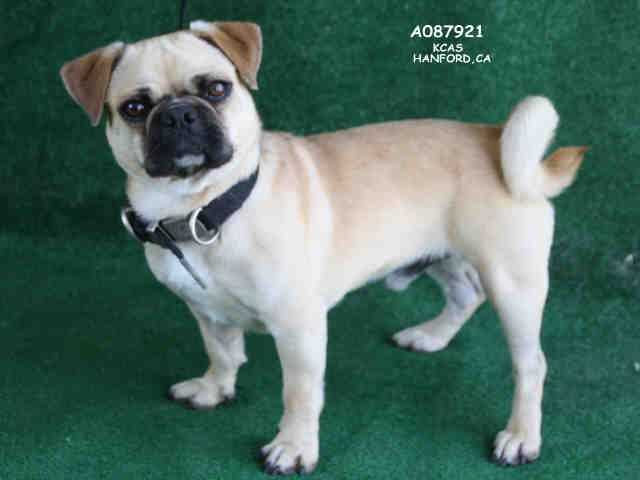 Pug Dog For Adoption In Hanford Ca Adn 548241 On Puppyfinder Com