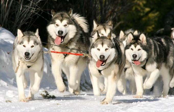 Quinault Alaskan Malamutes Run For The Red Lantern Alaska Dog