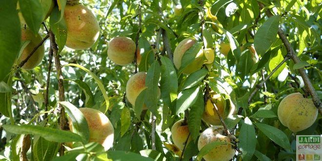Epingle Sur Fruitiers