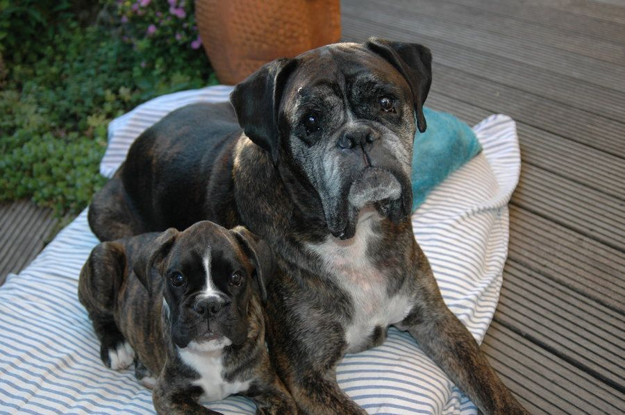 Axel and Banjer Boxer puppies, Boxer puppies for sale