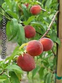 "Prunus Persica /""MISSOURI/"" 10 x Peach Tree Seeds"