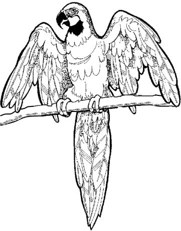 Macaw Coloring Page  Mural  Pinterest  Coloring Coloring pages