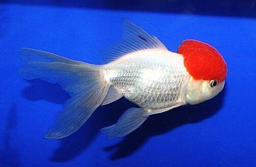 5 6 034 Chinese Imported Red Cap Oranda Goldfish Live Tropical Aquarium Fish Koi Oranda Goldfish Tropical Aquarium Aquarium Fish