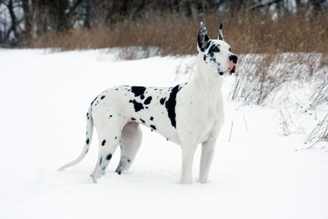 Harlequin Great Dane In Snow Great Dane Puppy Harlequin Great Danes