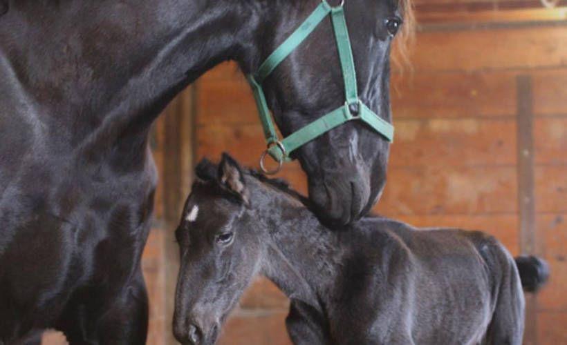 Hevonen yllätti omistajansa - yllätysvarsa