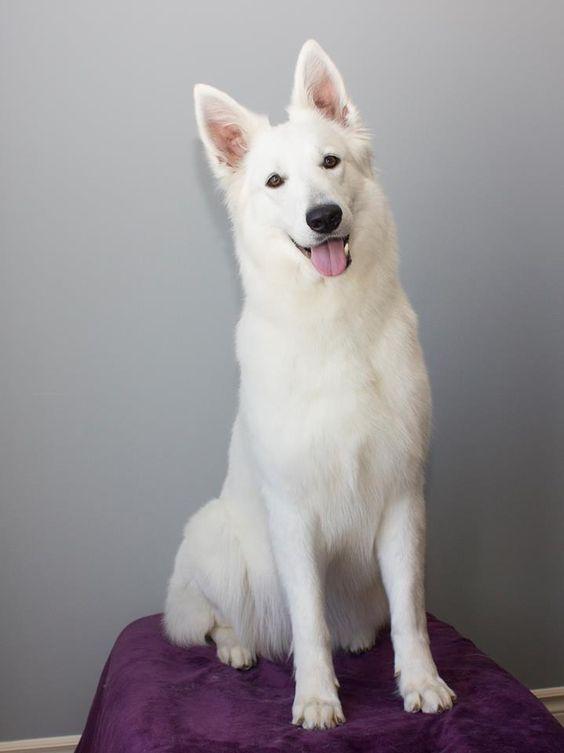 WauwiesBild von Erdbeermilchcreme Weißer schäferhund