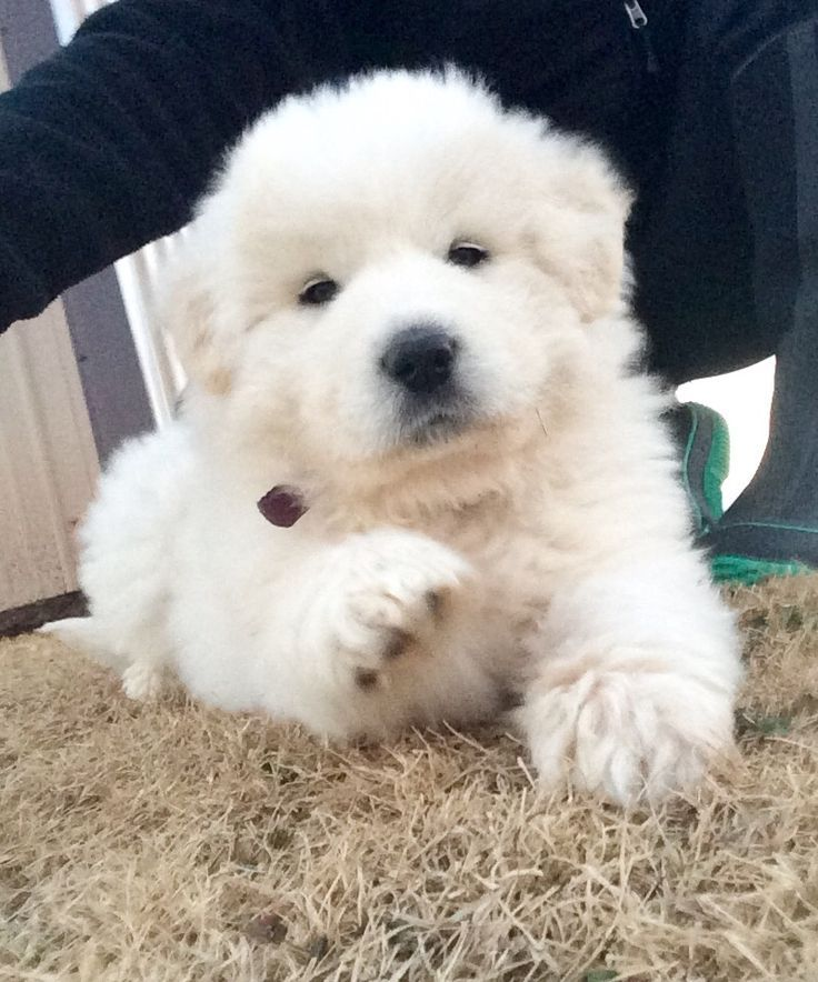 7 Week Old Great Pyrenees Great Pyrenees Great Pyrenees Dog