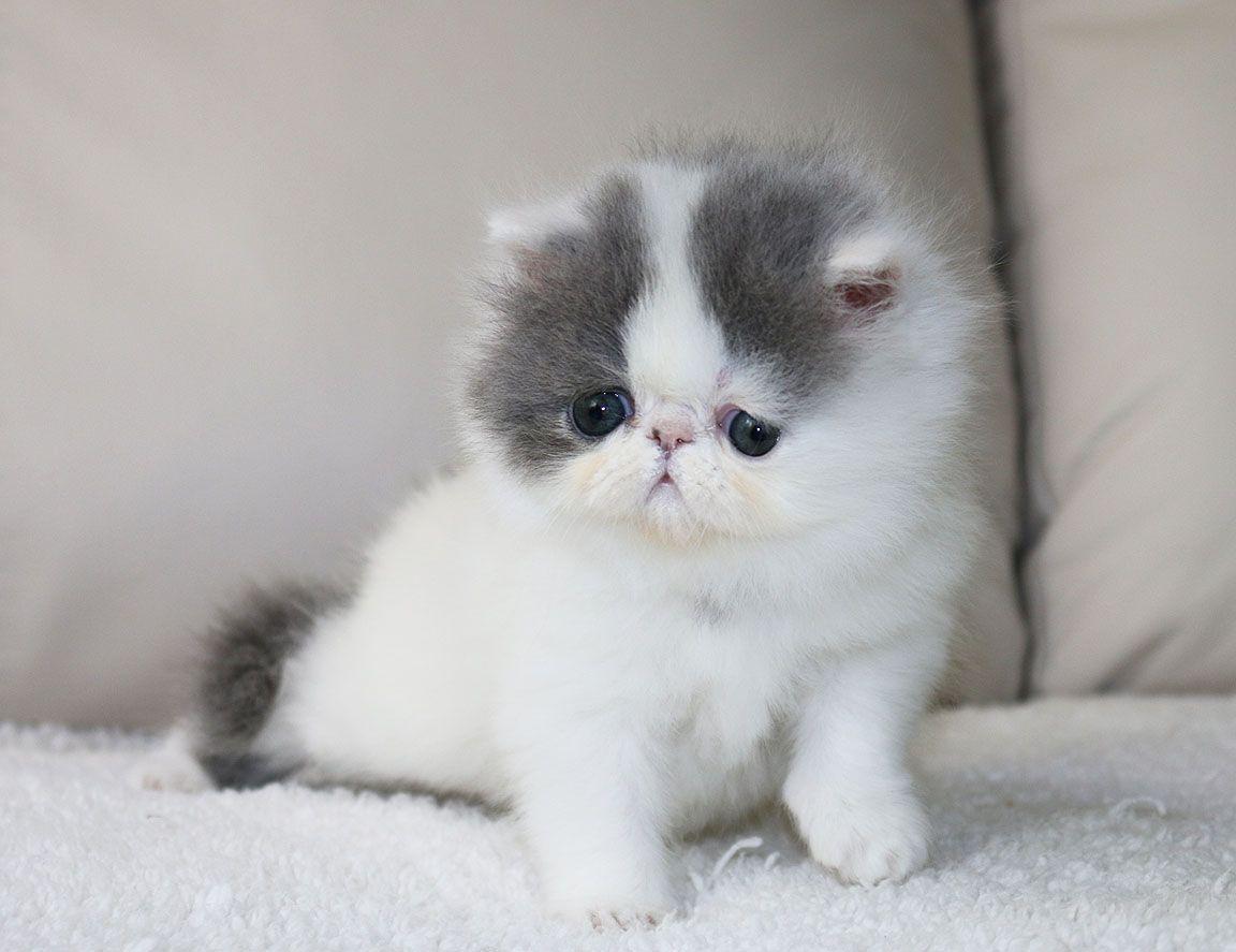Alfenloch Sweet Tenderness Blue White Van Female Persian Kitten Himalayankittens Persian Kittens White Persian Kittens Cute Cats And Kittens