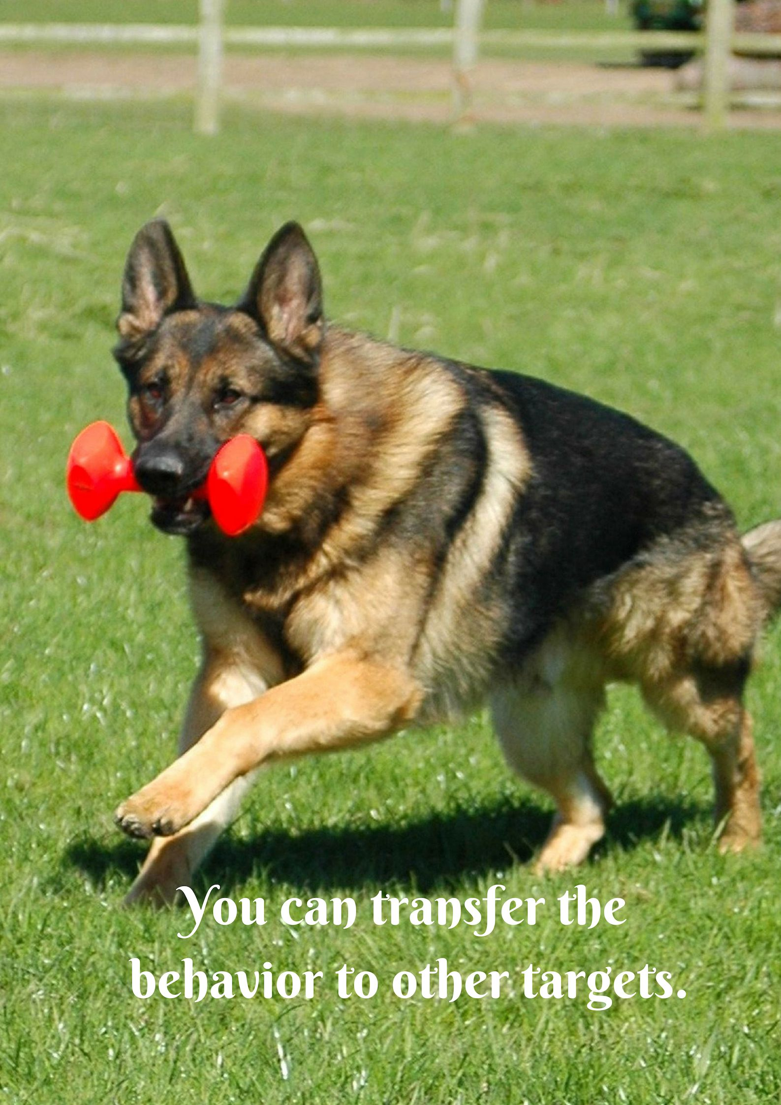 Use The Target To Teach The Dog To Walk Beside You On A Loose