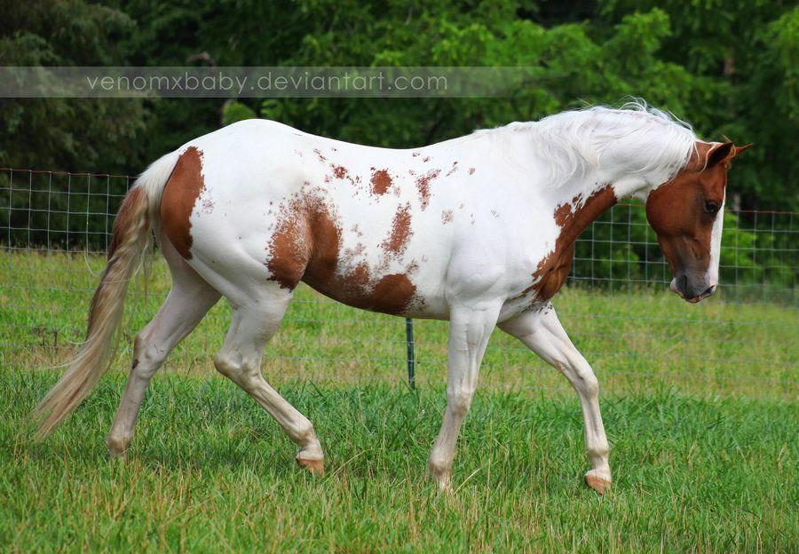 chestnut tovero paint horse 1 by venomxbaby on deviantART ... - photo#29