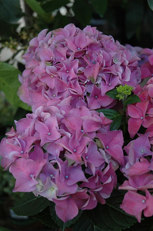 Early Blue Hydrangea Hydrangea Macrophylla Early Blue At Garden Supply Company Hydrangea Macrophylla Blue Hydrangea French Hydrangea