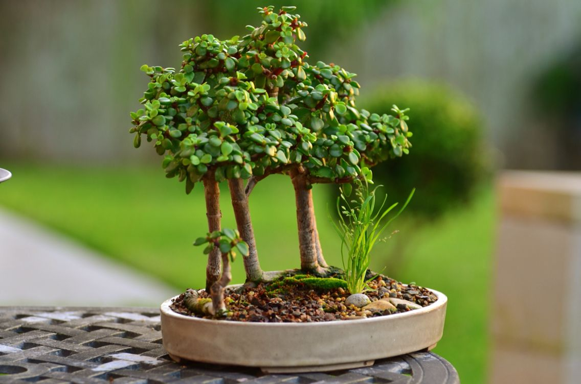 Portulacaria Afra Raft Bonsai Tree Forest Tree By Www