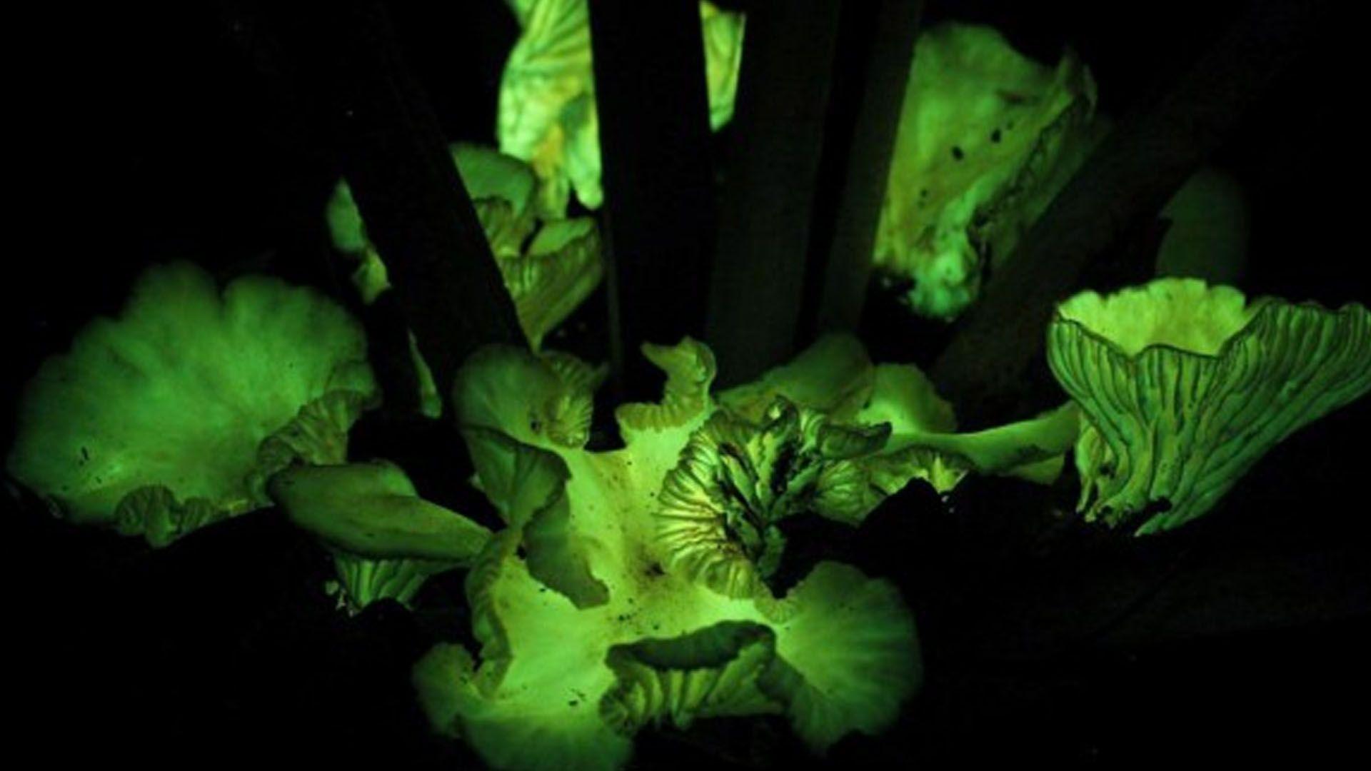 Fungo Neonothopanus gardneri usa o relógio biológico interno para ligar e desligar sua luz, atraindo mais insetos e facilitando a dispersão de esporos.