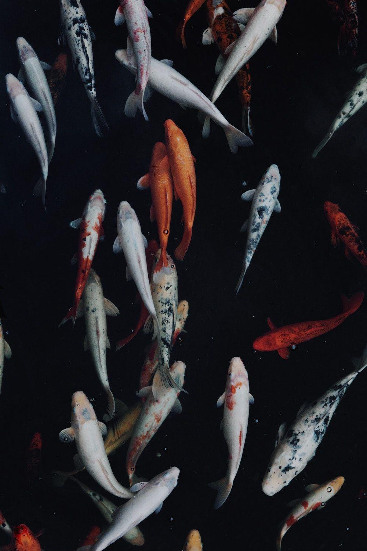 White And Orange Koi Fish Deep Life Beat 息 壁紙 ノラ 写真