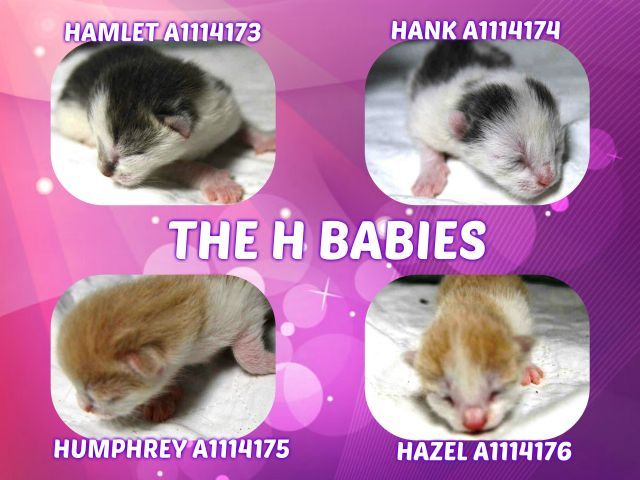 H BABIES_2 DAY OLD KITTENS WERE SURRENDERED WITHOUT MOM