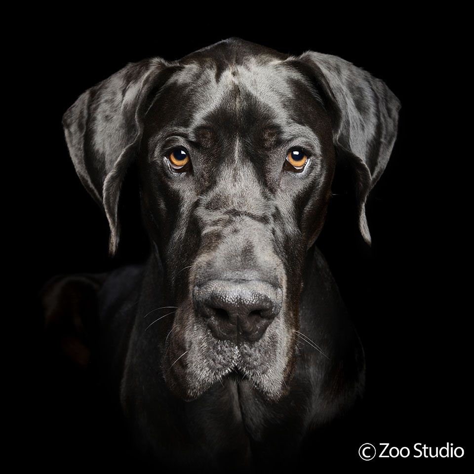 Great Dane Patient And Friendly Pet Photography Studio Dog