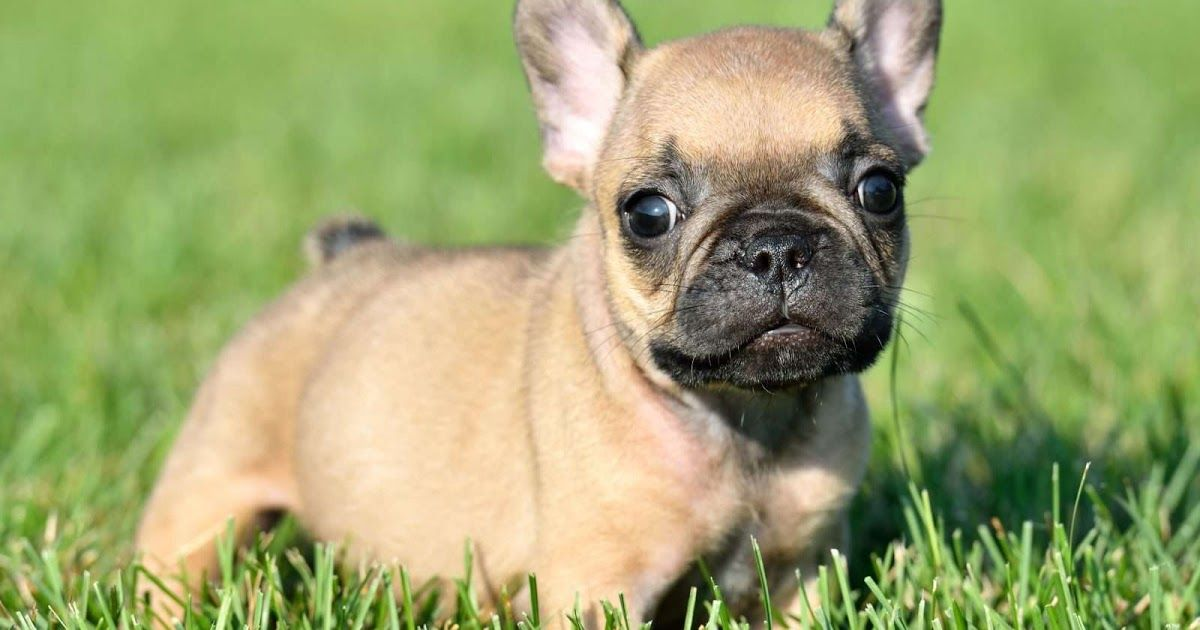 French bulldog puppies akc 541 733 6459raised in the house