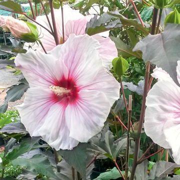 Riesenhibiskus Staudenhibiskus Pflanzen Garten