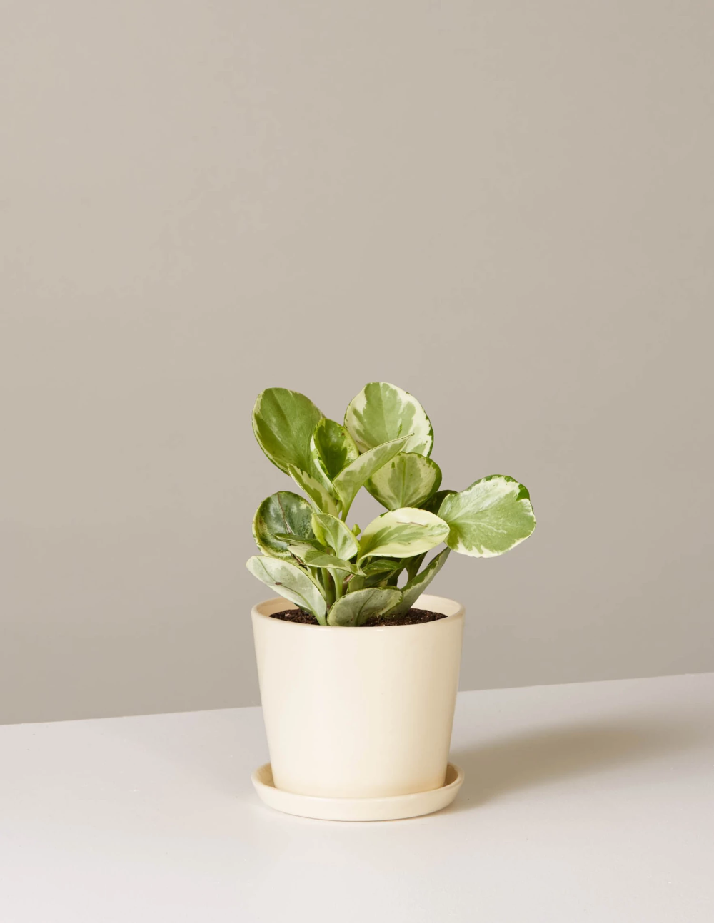 Pet Friendly Plants Indoor Plants Delivered The Sill