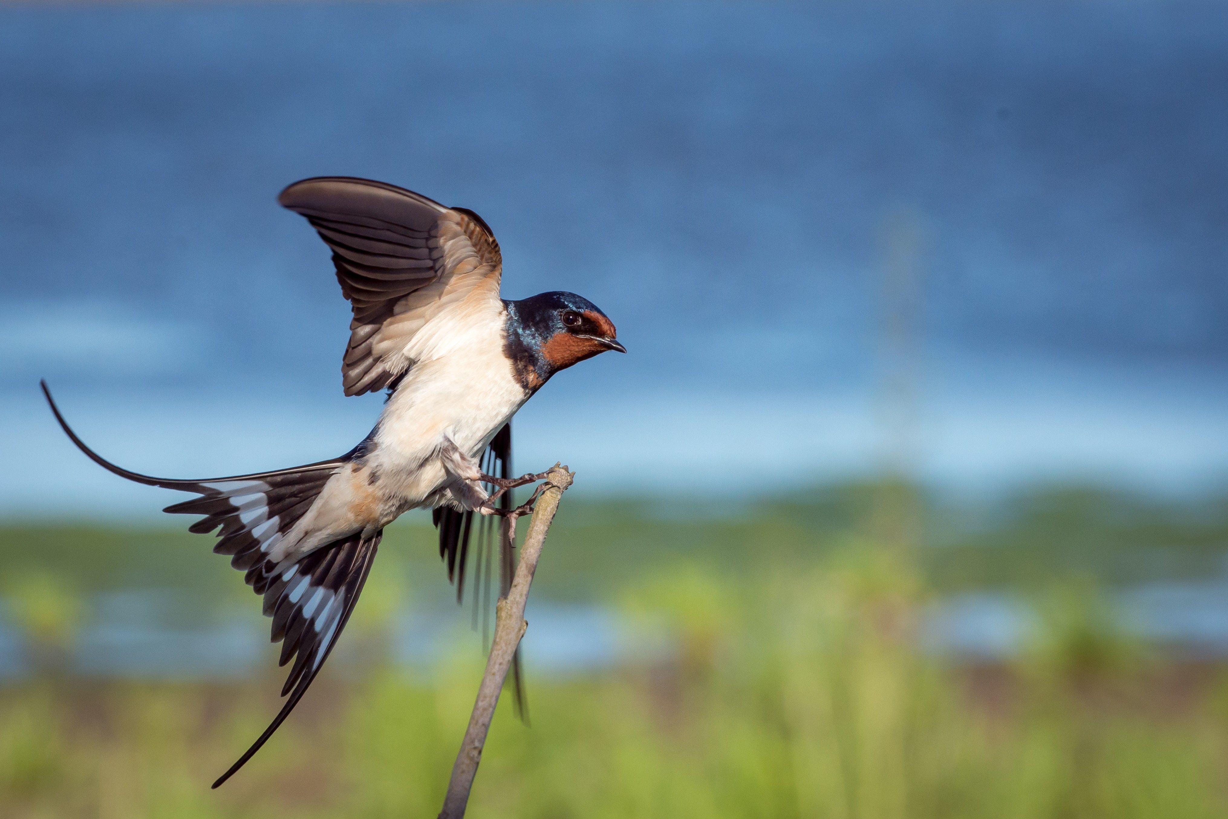 Coucal Bulbul Bird Flying Wallpaper Free Download Hd Bird Photo Animals Birds Flying
