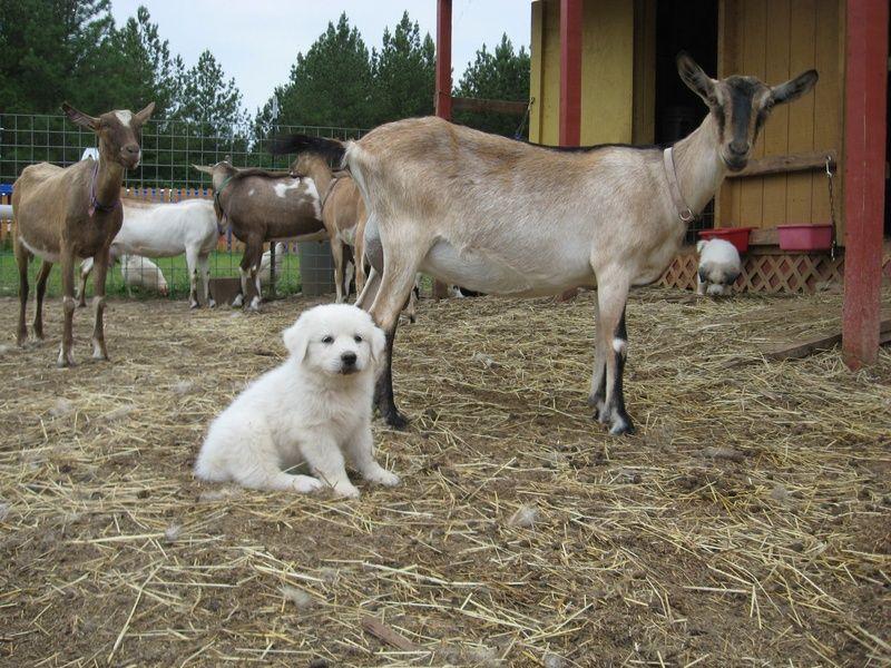 Goats Adoption Rehoboth Farms Of North Carolina Llc Home Of The
