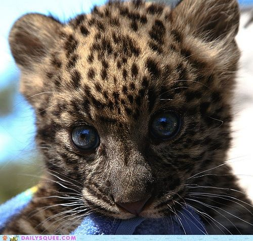 I want a baby leopard