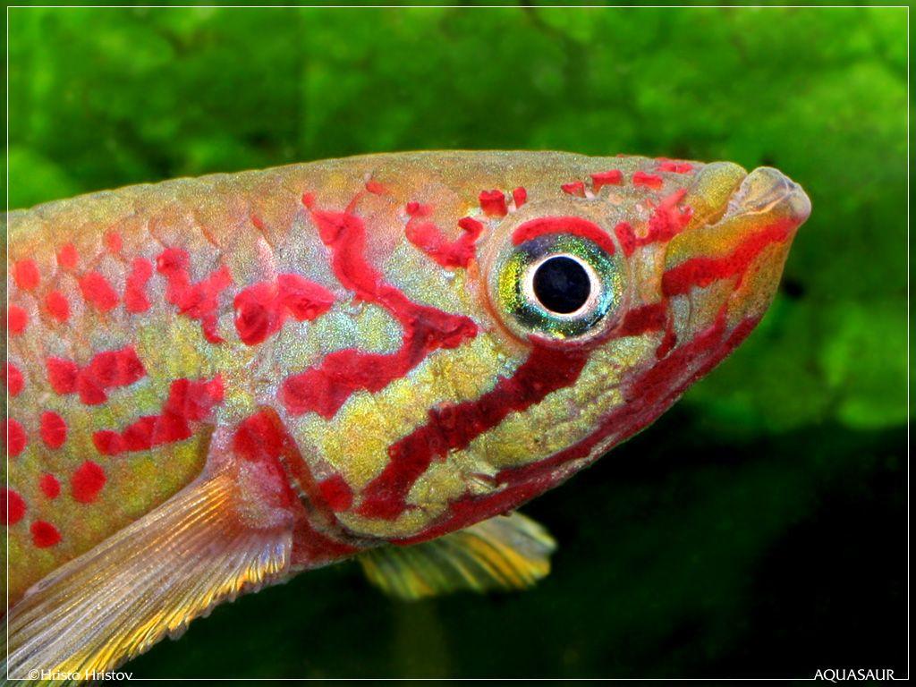Callopanchax monroviae | Freshwater Fish | Pinterest | Freshwater fish