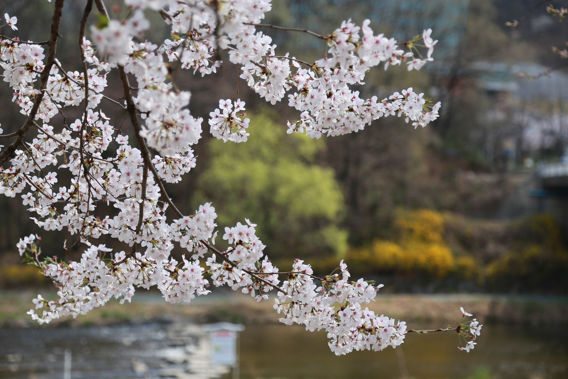 Top 10 Viewing Spots For Cherry Blossom In China China Com Cherry Blossom Blossom Nature