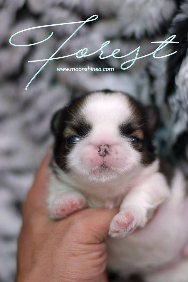 Smooshie Face Imperial Shih Tzu Puppy Philippines Shihtzu Shitzu Dogs Shih Tzu Puppy Baby Animals Funny