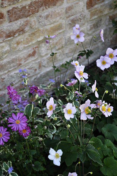 Anemoni in fiore