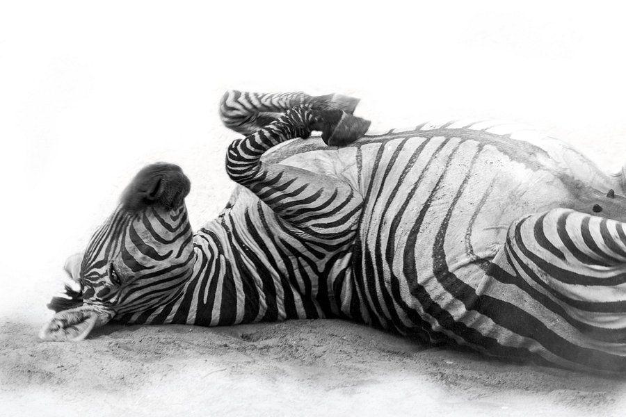 Rollendes Zebra, Schwarz-Weiß (Dierenpark Emmen) aus Aafkes Fotografie auf Leinwand, Tapete und mehr