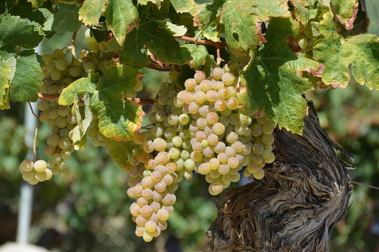 Виноград-видео по выращиванию и уходу 492