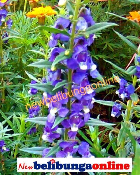 Pin By Newbelibungaonline On Tanaman Hias Bunga Bunga Plants Herbs