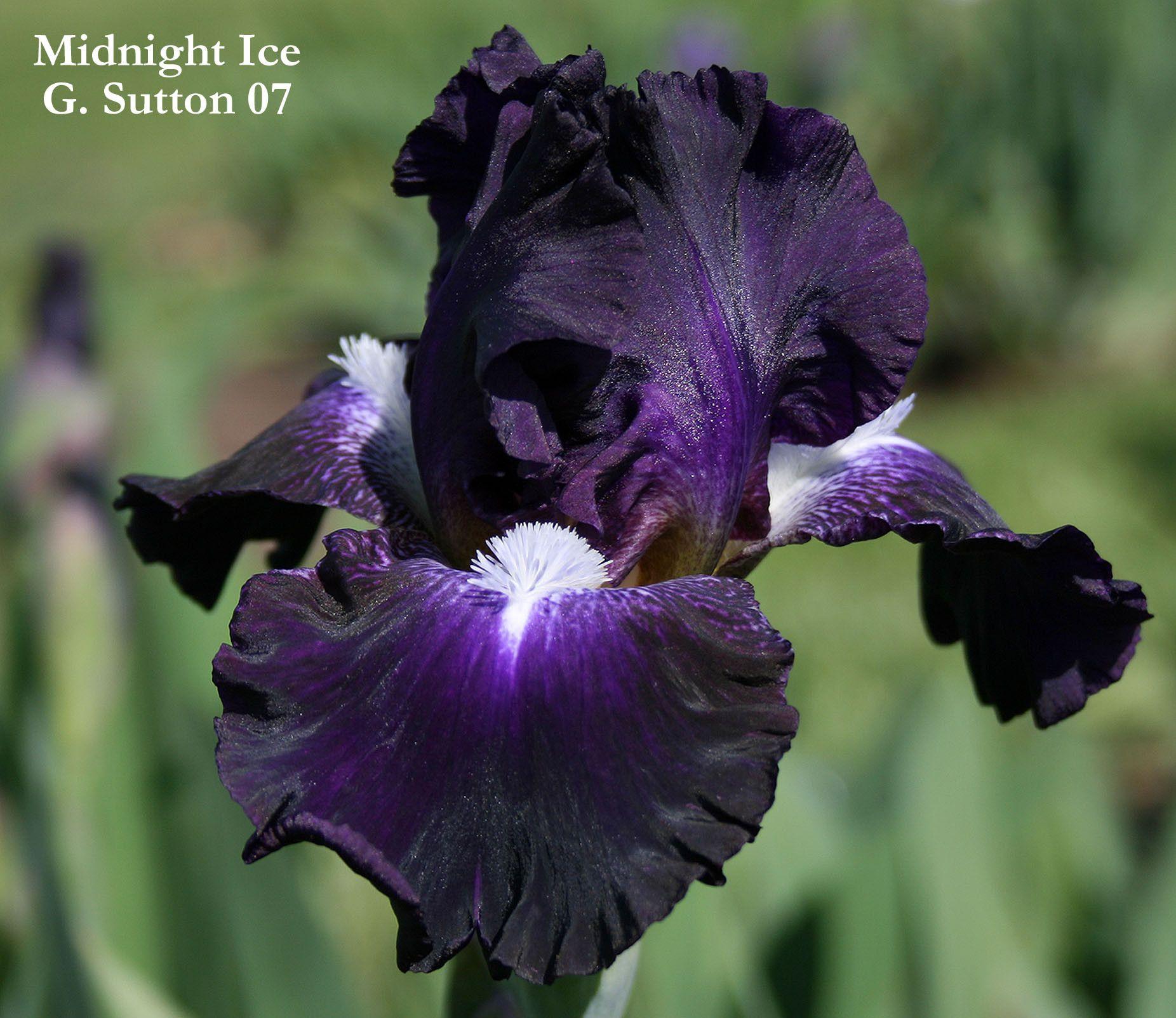 Iris midnight ice bearded iris iris and dark blue iris flowers izmirmasajfo Choice Image
