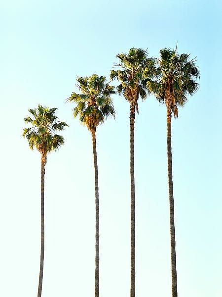 Four Palm Trees is part of Palm trees wallpaper - T527D  Tai Prints  Four Palm Trees