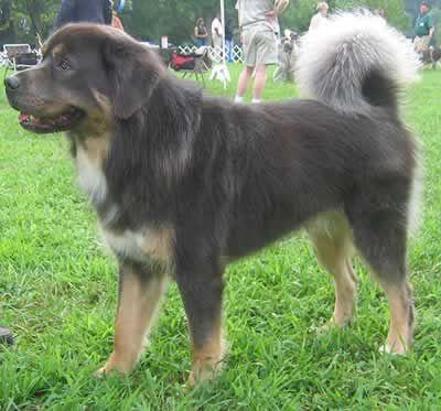 Tibetan Mastiff Possible Mixed With Bernese Mountain Dog