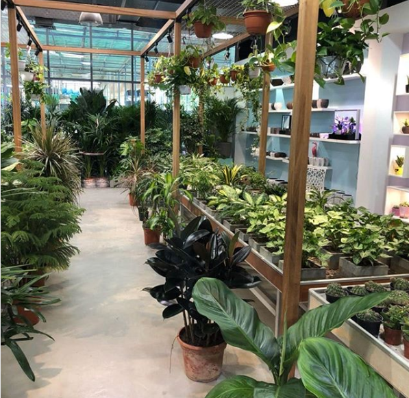Explore And Shop Plants From Our Wide Range Of Indoor Plants In Our Plant Showroom Acacia Garden Center Dubai Indoor Plants Plants Air Purifying House Plants