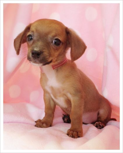 Chihuahua Dachshund Mix So Cute Chiweenie Dogs