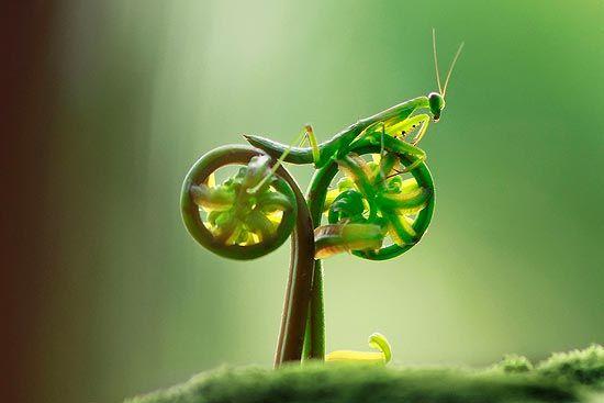 Foto na qual um louva-a-deus parece estar andando de bicicleta