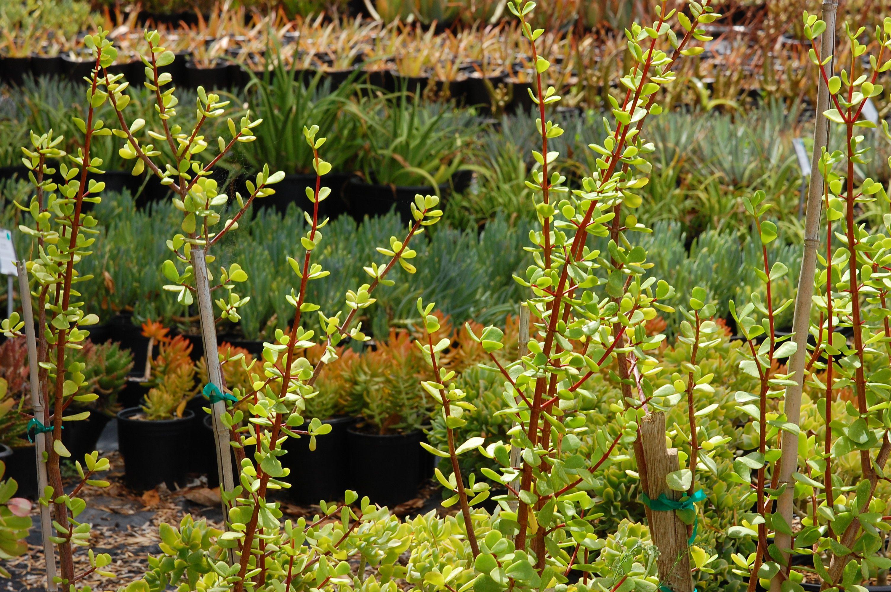 Portulacaria Afra Macrophylla Cacti Com Plants Jade Plants Outdoor Gardens