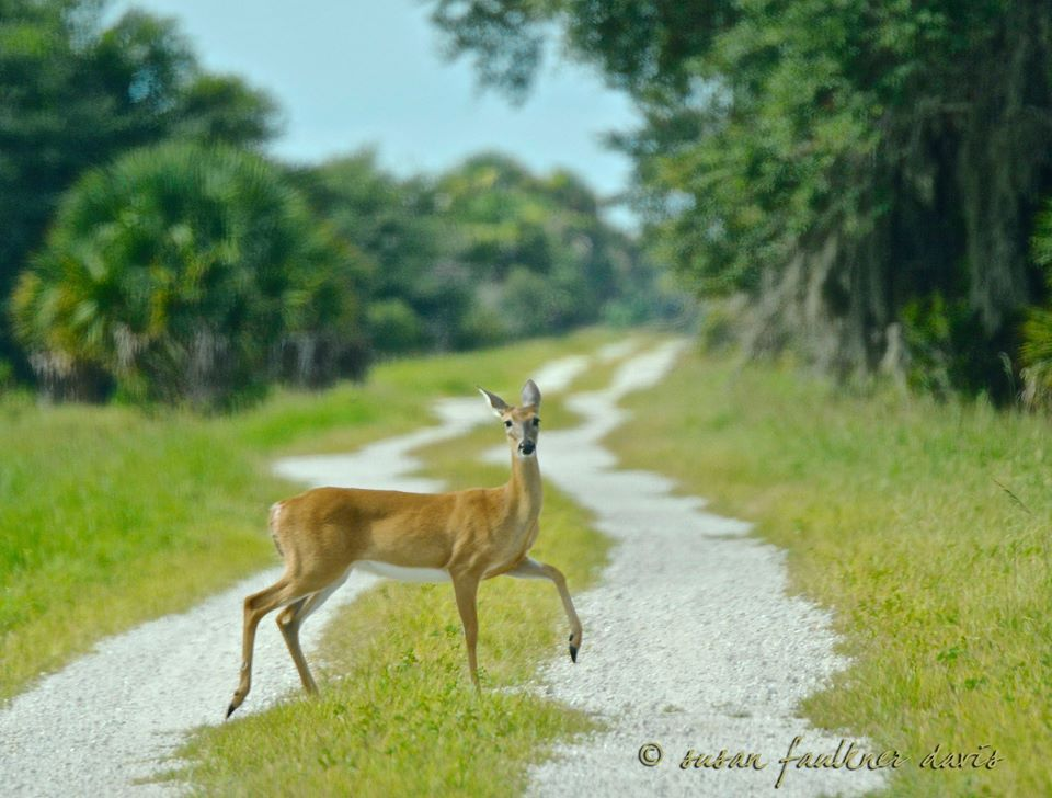 White Tailed doe claims right of way on the road less traveled. Florida deer are small, delicate creatures via Susan Faulkner Davis Photography FB