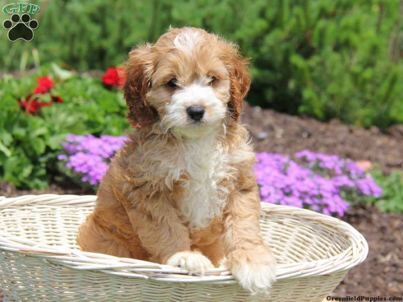 Teddy, Cockapoo puppy for sale in Honey Brook, Pa